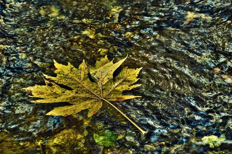 Floating-Maple-Leaf